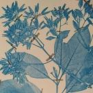 Cinchona spp.: Herbario medicinal de la Nueva Granada